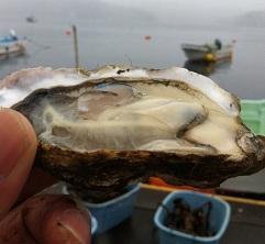 現在の「かまいし桜牡蠣」